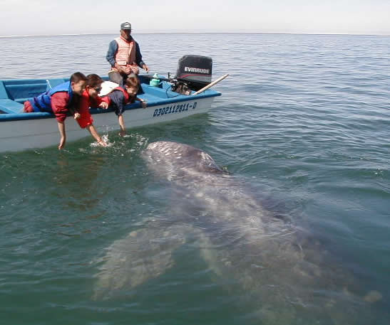 Gray Whale and calf at Laguna San Ignacio