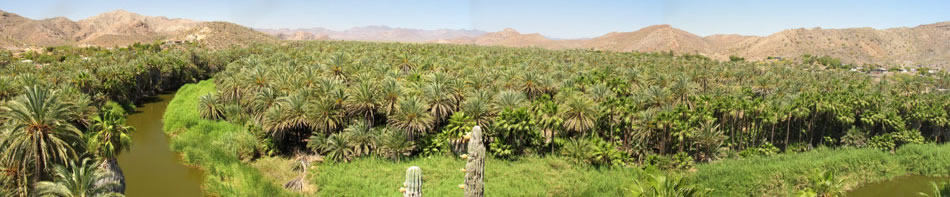 Panorama of Mulege palm orchards