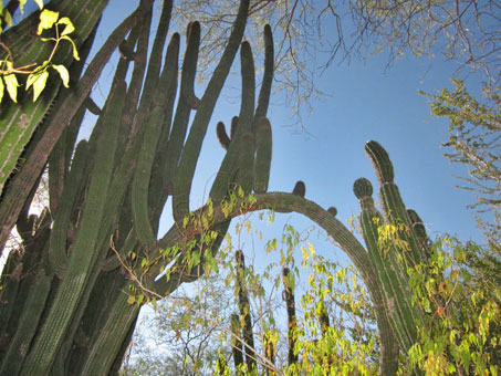 Arborescent cacti arching over path