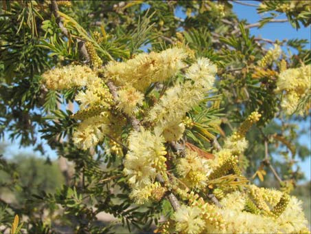 Acacia brandegeana flowers and fruit