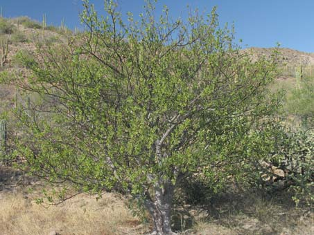 Habit of Bursera hindsiana