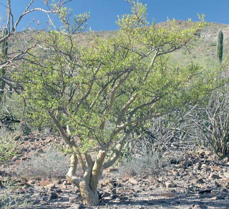 Habit of Bursera microphylla