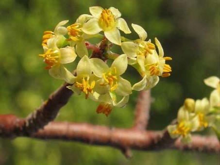 Flowers of Bursera microphylla