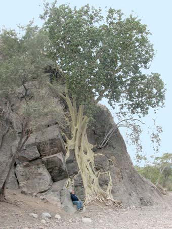 Ficus palmeri tree on cliff