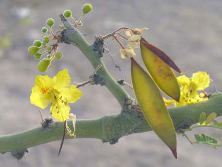 Flowers and fruit of Parkinsonia praecox