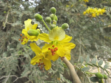Flowers and leaves of Palo Eba