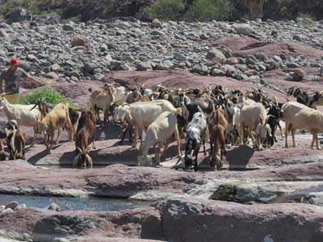 Goats drinking from river