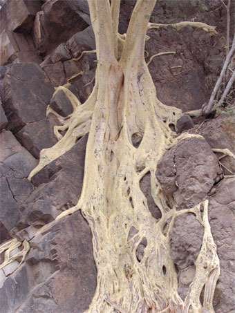 Roots of Gigantic wild fig on cliff near Loreto